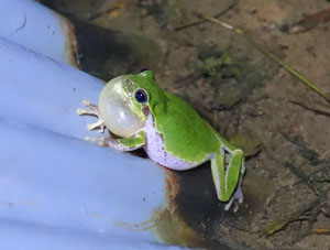 Size Effect on Call Properties of Japanese Tree Frogs Revealed by Audio-Processing Technique