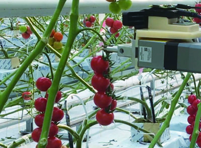 Fast Detection of Tomato Peduncle Using Point Cloud with a Harvesting Robot