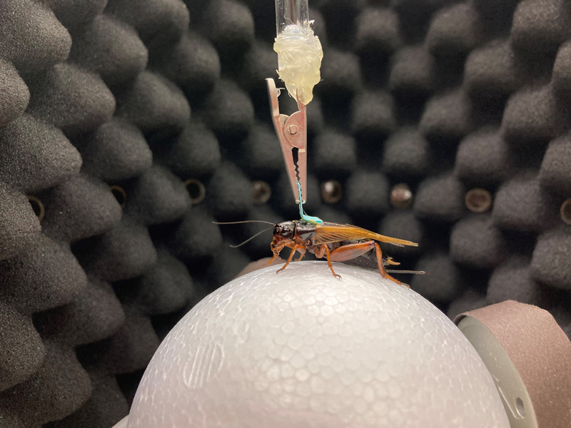 Auditory Virtual Reality for Insect Phonotaxis