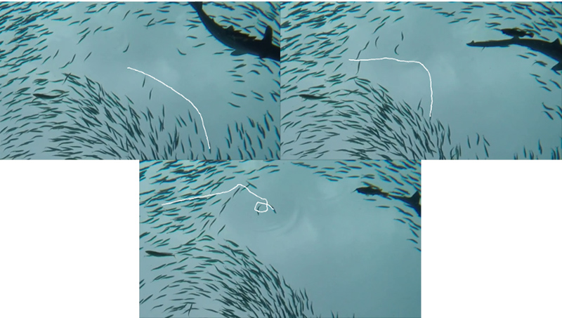 Pose Estimation of Swimming Fish Using NACA Airfoil Model for Collective Behavior Analysis
