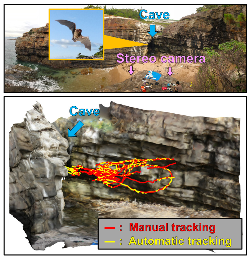 Three-Dimensional Trajectory Construction and Observation of Group Behavior of Wild Bats During Cave Emergence